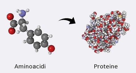 Proteine ed aminoacidi